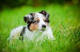 australian shepherd dog names top 10 awwww inducing cute dog names