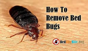 What Do A Bed Bug Look Like How To Remove Bed Bugs From Home