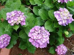 hydrangeas flowers how to care for hydrangeas hgtv