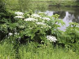 Japanese Knotweed Ireland Specialists In Control And Eradication