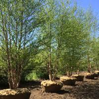 ornamentals doty nurseries wholesale grower of ornamental trees