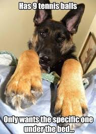 Funny German Shepherd Memes - 120 best german shepherd memes images on pinterest german