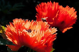 ornamental poppies free pictures on pixabay