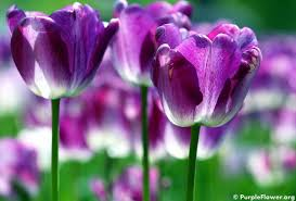 different types of purple purple tulips third most popular flowers in the world