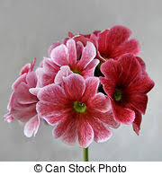 Pink Primrose Flower - primrose stock photos and images 7 225 primrose pictures and