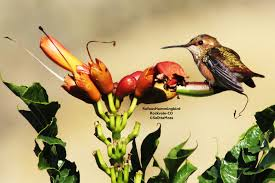 33 best plants for birds attract hummers and other pollinators with trumper vine birds