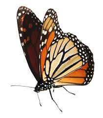monarch butterfly choosing the right milkweed clip art library