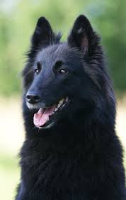 belgian shepherd dog temperament 9 dog breeds that are amazingly similar to german shepherds
