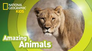 african lion amazing animals youtube