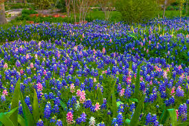 Bluebonnet Flowers - week 15 1 2 the legend of the pink bluebonnet