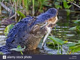 images of blue alligator wallpaper sc
