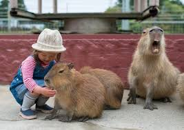 where can i buy a purchasing your best fried where can i buy a capybara