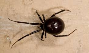 Black Widow Spiders Had A - two schools evacuated after infestation of false widow spiders