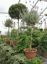 Topiaries Plants - myrtle topiary large plants gardens and flowers