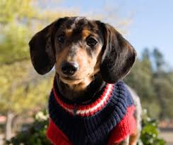 sweater with dogs on it sweaters and jackets for dogs do they really need them