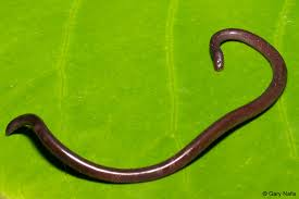 Madagascar Blind Snake Ramphotyphlops Braminus Brahminy Blind Snake