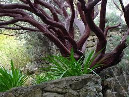 manzanita trees pest management technology manzanita products