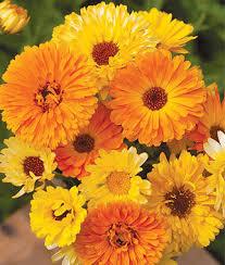 calendula flowers pacific beauty mix organic calendula seeds and plants annual