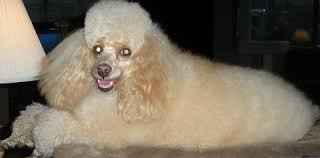 poodles long hair in winter poodle care and tips