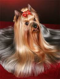 tea cup yorkie hair cuts explore yorkie haircuts pictures and select the best style for