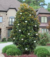gem magnolia for sale fast growing trees