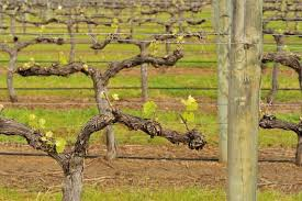 The Trellis And The Vine Winter How To Tips For Pruning Grapevines Modern Farmer
