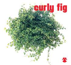 Fig Flower - ficus curly fig ficus pumila aka creeping fig or climbing fig