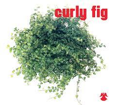 creeping fig aka climbing fig has long trailing vines with aerial