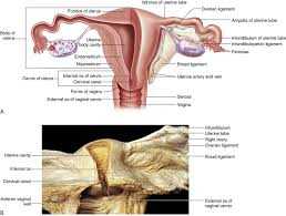 Human Anatomy Cervix Female And Reproductive Function Basicmedical Key