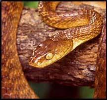 Blind Snake Hawaii Snakes In Hawaii