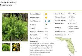 native florida plants low maintenance sweet acacia florida native plants archinology