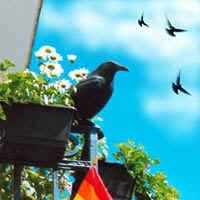 tauben auf dem balkon taubenabwehr gefahr vom balkon neu kunstrabenvögel statt gift