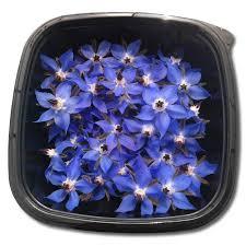 edible blue flowers borage edible flowers herbs unlimited