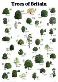 trees of britain print by guardian wallchart worldgallery co uk