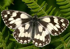 butterfly conservation marbled white