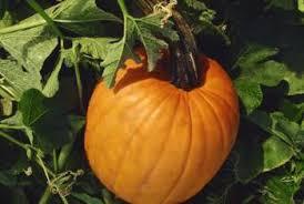 Squash Plant Diseases Pictures - pumpkin disease identification home guides sf gate