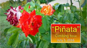 pinata climbing rose update july 3 2016 youtube
