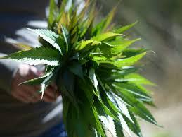 cannabis flower how to grow cannabis outdoors sunset