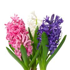 hyacinth flower fresh hyacinth flowers and leaves on white background stock