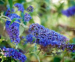 All Year Flowering Shrubs - best 25 blue flowering shrubs ideas on pinterest blue plants