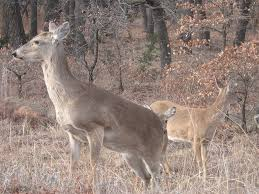 hla 6427 ornamental and garden plants controlling deer damage