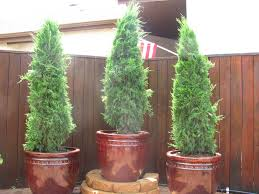 potted juniper plants in the backyard best evergreen plants for