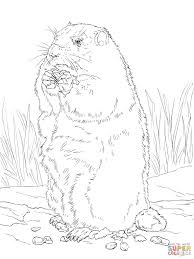 groundhog eating corn coloring page free printable coloring pages