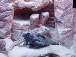 looking for lizards desert road trippin u0027