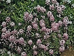 alyssum flowers sweet alyssum plant britannica