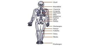the skeletal system answer key anatomy human chart