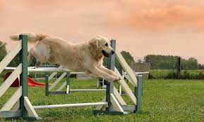 Backyard Agility Course 14 Best Ways To Exercise Your Golden Retriever