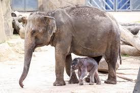 kölner zoo neues elefantenbaby hat seine erste nacht gut