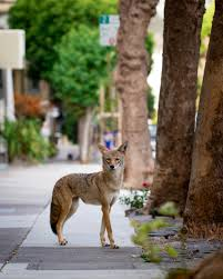 10 fascinating facts about urban coyotes the urban coyote initiative