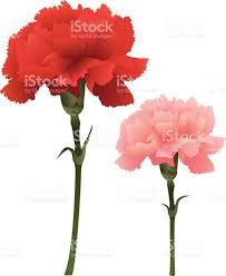 carnation clip art vector images u0026 illustrations istock